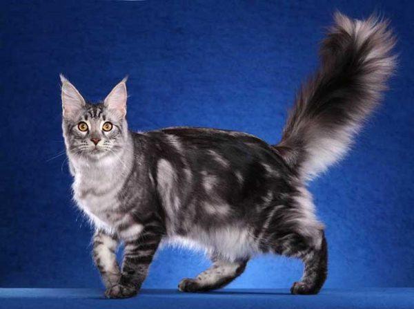 Кошка породы мэйн-кун
